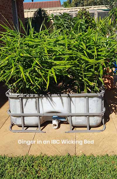 IBC Wicking Beds Food